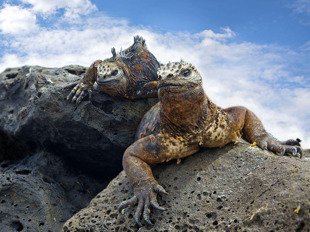 Legwany, Galapagos