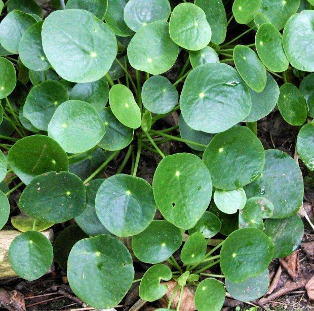 Zdjęcie numer 5 w galerii - Pieniążek (Pilea Peperomioides) - modna roślina, którą naprawdę trudno kupić