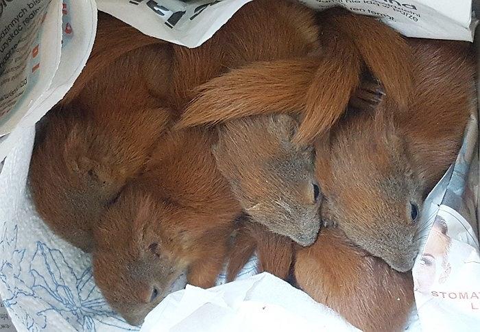 Przestraszone, wychudzone, porzucone przez matkę. Uratowano 5 malutkich wiewiórek.