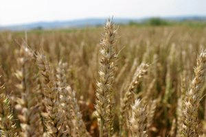 Rosja przegrywa pszenicą z Polską