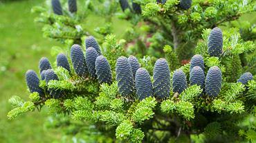 Jodła koreańska - charakterystyka, uprawa i odmiany dekoracyjnego drzewa ogrodowego. Zdjęcie ilustracyjne