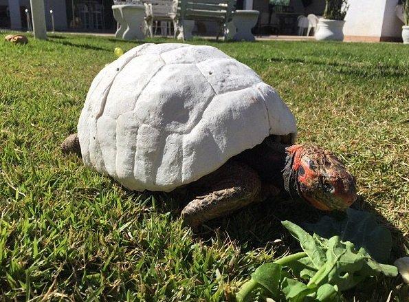Zdjęcie numer 2 w galerii - Żółw stracił skorupę w pożarze. Naukowcy wydrukowali mu nową