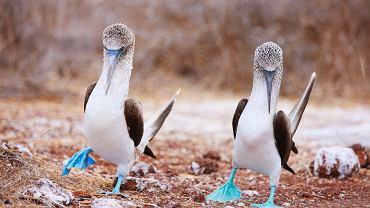 Głuptaki, Galapagos