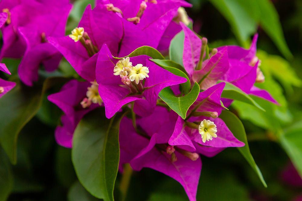 Bugenwilla to bardzo dekoracyjna roślina. Zdjęcie ilustracyjne