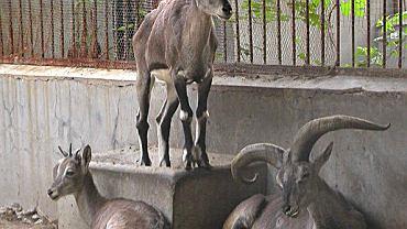 Rook_goat in beijing zoo