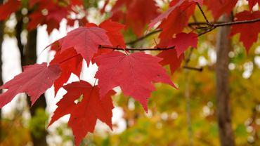 Klon czerwony to sporej wielkości drzewo, które często można spotkać w parkach. Zdjęcie ilustracyjne