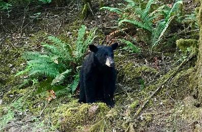 USA. Uśpiono niedźwiedzia, którego ludzie dokarmiali i oswajali