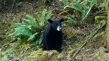 USA. Dokarmiali niedźwiedzia, żeby robić sobie z nim selfie. Zwierzę zostało uśpione