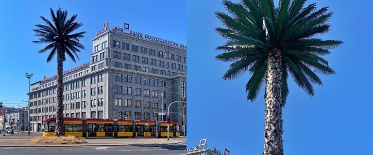 Warszawska palma przeszła kolejną metamorfozę. Niedawno jej liście zupełnie