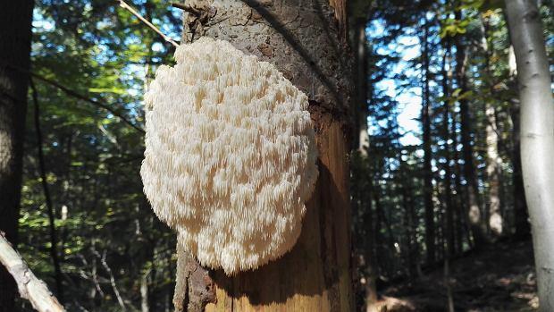 Te grzyby są obecne w Polsce i wyglądają zachwycająco! Niektóre można jeść, ale część jest objęta ochroną