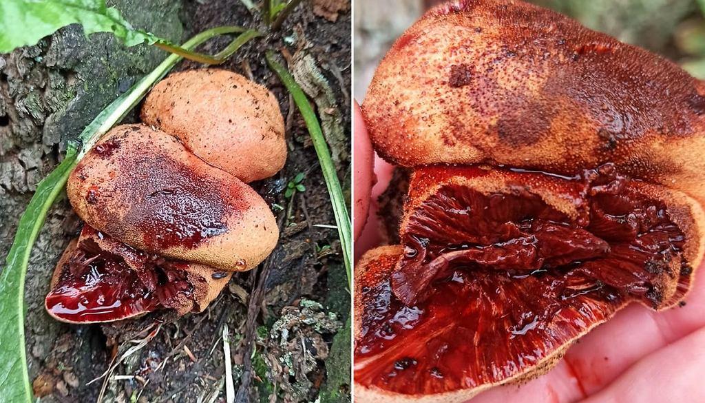 Ozorek dębowy - grzyb, który 'krwawi'