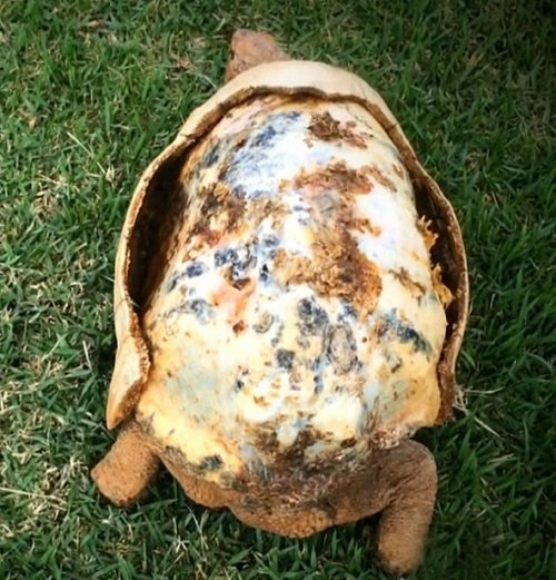 Zdjęcie numer 3 w galerii - Żółw stracił skorupę w pożarze. Naukowcy wydrukowali mu nową
