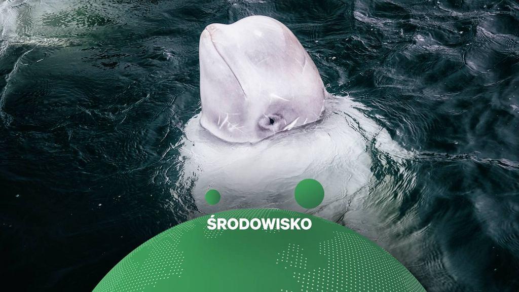 Aktywiści szukają schronienia dla wieloryba uznanego za rosyjskiego szpiega.