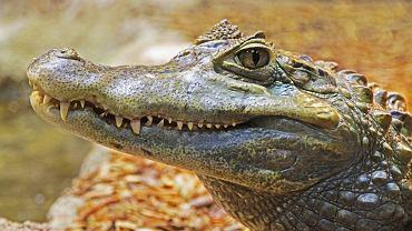 Aligator / Zdjęcie ilustracyjne