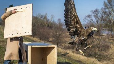 Orlica z Ptasiego Azylu odzyskała wolność