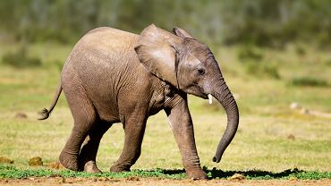 Słoniątko przeżyło dzięki akcji reanimacyjnej