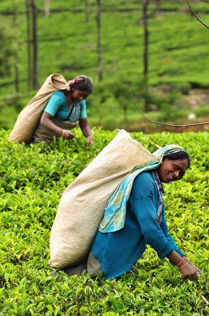 Z herbatą wśród słoni: Cejlon, azja, podróże