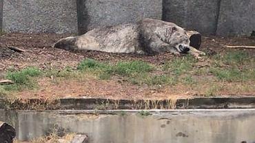 Poznańskie ZOO twierdzi, że niedźwiedzie polarne z Warszawy są zaniedbane
