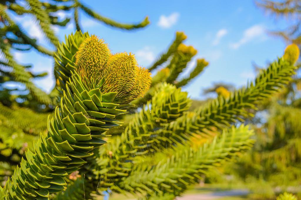 Araukaria jest bardzo ciekawą rośliną. Zdjęcie ilustracyjne