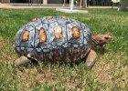 Żółw stracił skorupę w pożarze. Naukowcy wydrukowali mu nową