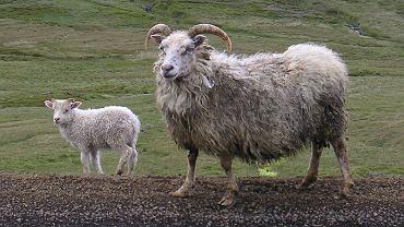 Owca islandzka