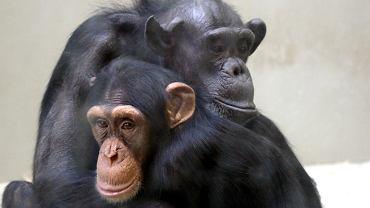 Szympansica Kasia ze swoim  dzieckiem Samborem