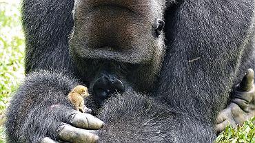 Olbrzymi goryl bawi się z malutkim galago