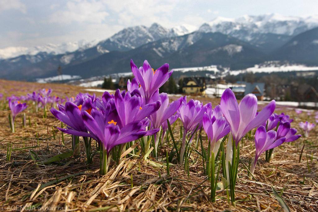 Tatrzański Park Narodowy. Sezon krokusowy w Tatrach się opóźnia (zdjęcie ilustracyjne: Kościelisko)