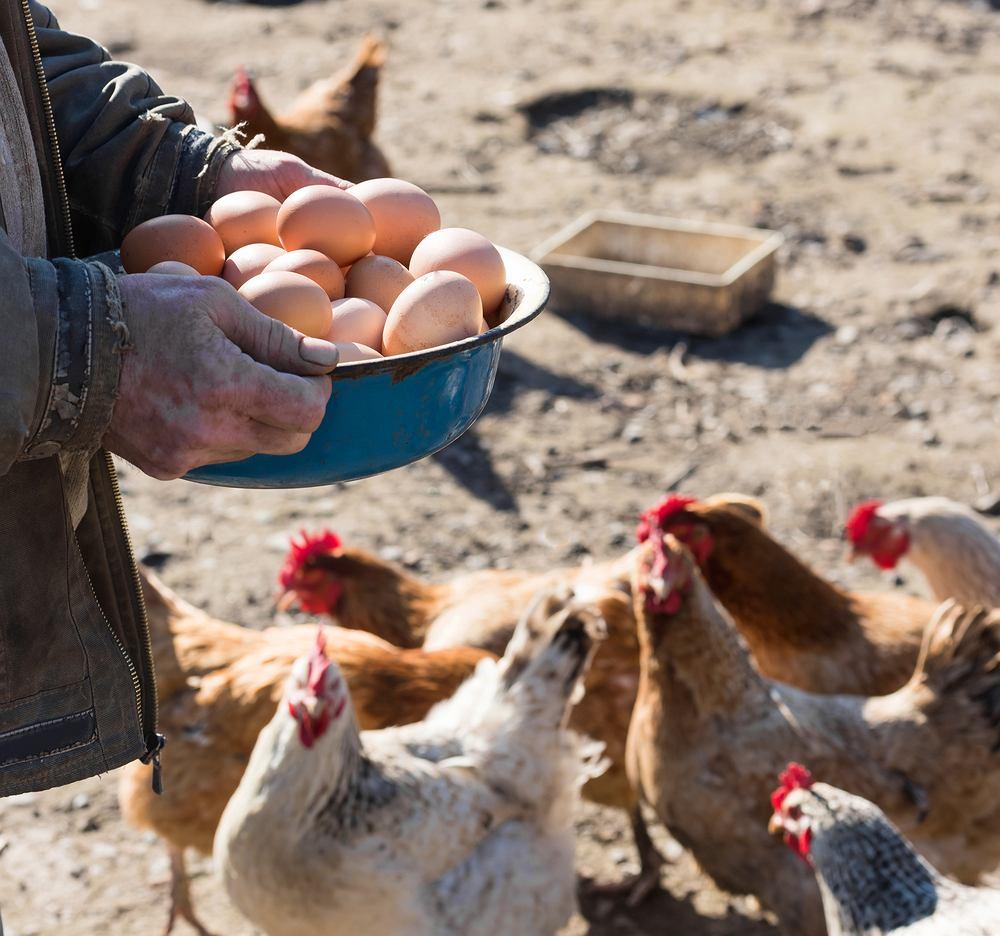 Jajka wiejskie są często uznawane za lepsze, bo kury mogą chodzić tam, gdzie chcą i jeść to, na co mają ochotę. Ale czy na pewno są dla nas zdrowsze?