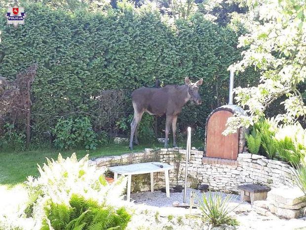 Łoś w ogródku  