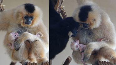 Rodzina gibonów: mama Boni i tata Gucio z urodzonym kilka dni temu maluszkiem.