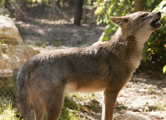 Szakal złocisty (Canis aureus)