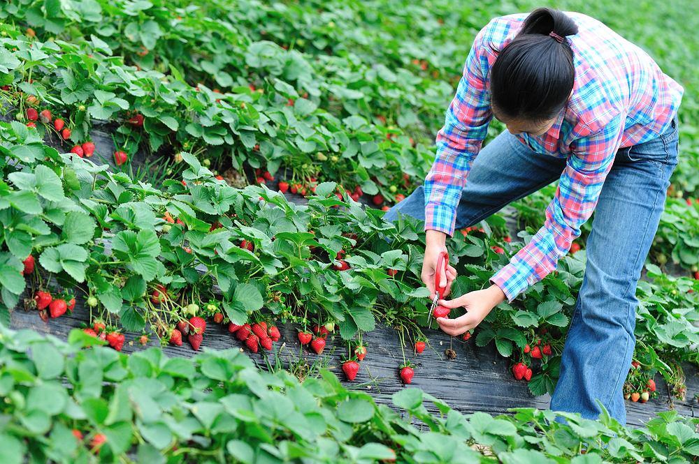 Masowa, sezonowa produkcja truskawek w Polsce to sprawa ostatnich stu lat, wcześniej nie pozwalały na nią mało doskonałe techniki składowania