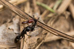 Czarna mrówka seks