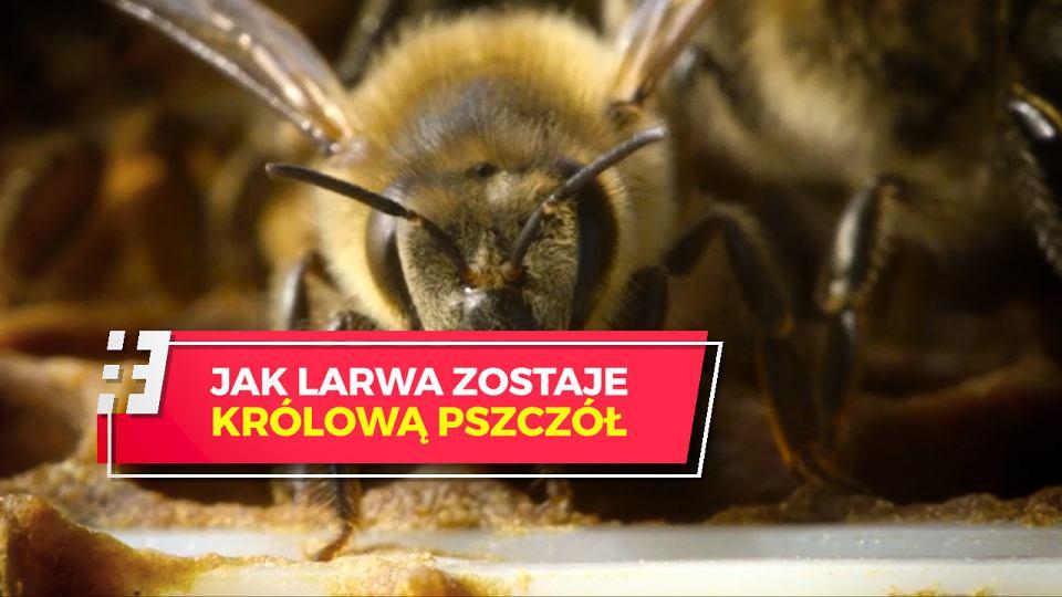 Zanim Zostanie Królową Pszczoła Musi Zabić Inne Kandydatki