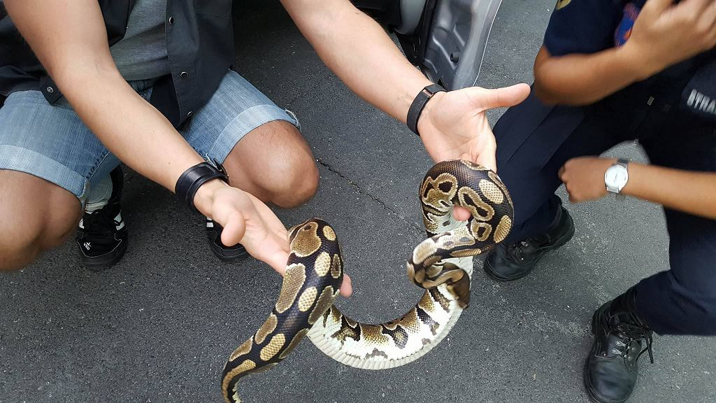 Wąż w paczce w Łodzi
