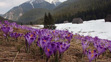 Tatrzański Park Narodowy. Sezon krokusowy w Tatrach się opóźnia (zdjęcie ilustracyjne: Dolina Chochołowska)