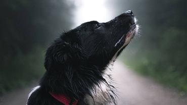 Koronawirus. Psy potrafią wykrywać zakażenie z dokładnością 94 proc. (zdjęcie ilustracyjne)