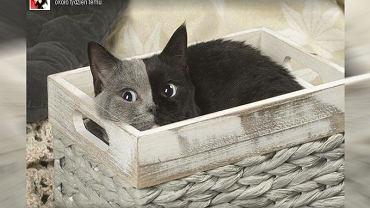 Narnia - kocic chimera |