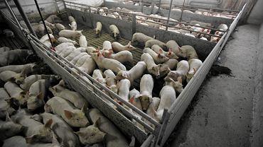 Przemysłowe hodowle sprawiają wiele problemów osobom mieszkającym w ich pobliżu (fot. Sebastian Rzepiel / AG)