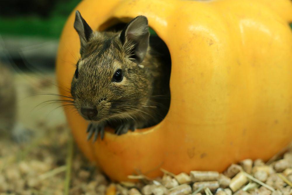 Koszatniczka - sympatyczne zwierzątko domowe. Jak się nim opiekować? Zdjęcie ilustracyjne