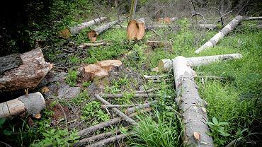 Puszcza Białowieska. Wycinka drzew świerkowych
