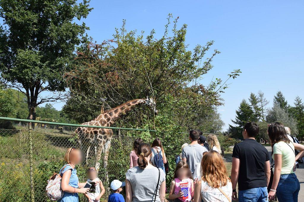 Nie żyje jedna z żyraf poznańskiego zoo. Wcześniej goście dokarmiali te zwierzęta