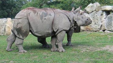Nosorożec Kubuś