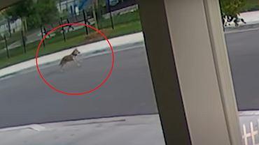 Pies ochronił dziewczynkę przed kojotem