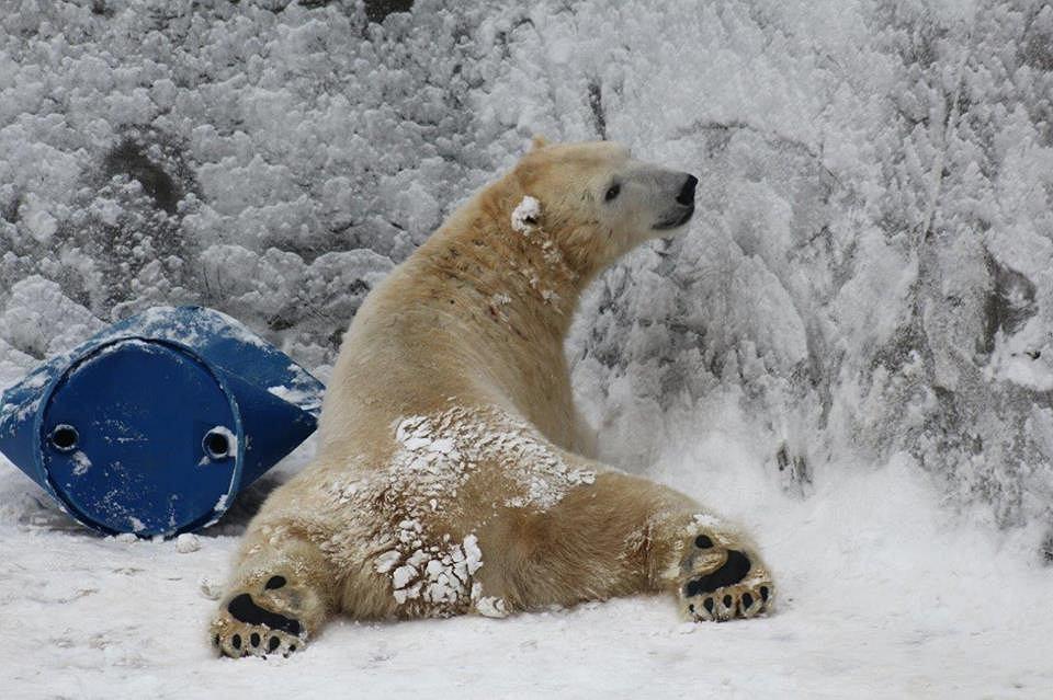 Niedźwiedź z warszawskiego ogrodu zoologicznego.