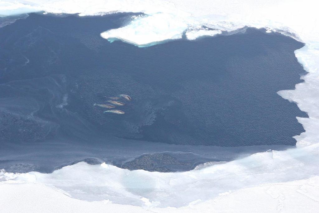 Narwale w Morzu Baffina, na trasie tzw. Przejścia Północno-Zachodniego. Naukowcy uznali właśnie, że narwale najbardziej straca na rozwoju żeglugi w Arktyce