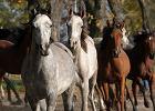 Awantura o stadniny koni arabskich. PiS złożył zawiadomienie do prokuratury