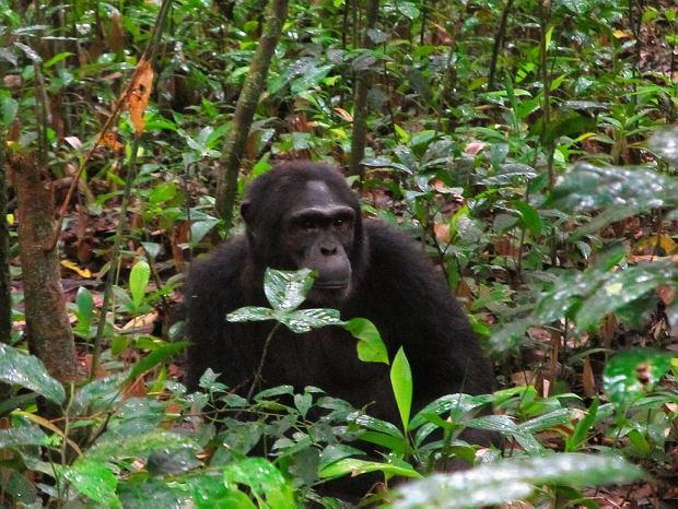 Najwięcej szympansów żyje wParku Narodowym Kibale.