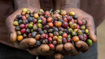 Świeżo zerwane ziarna kawy na plantacji w Afryce